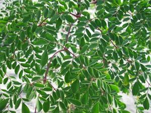 Hojas-de-Moringa-plan-verde-emko