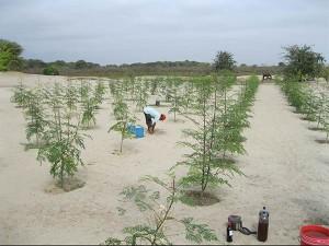 Moringa-plantage-emko