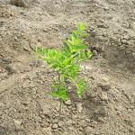 pequeño-árbol-de-limone-plan-verde-emko